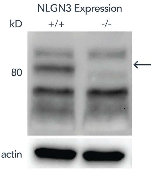 Neuroligin3_figure1-01